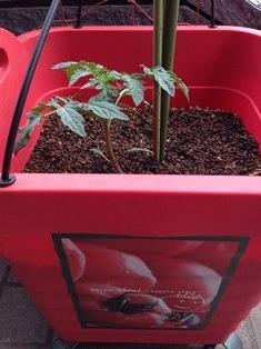 tomato-s.jpg